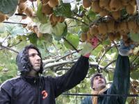 Ario-Kiwi-Harvest2.jpg